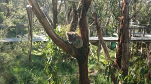 Just one of the residents at the koala sanctuary