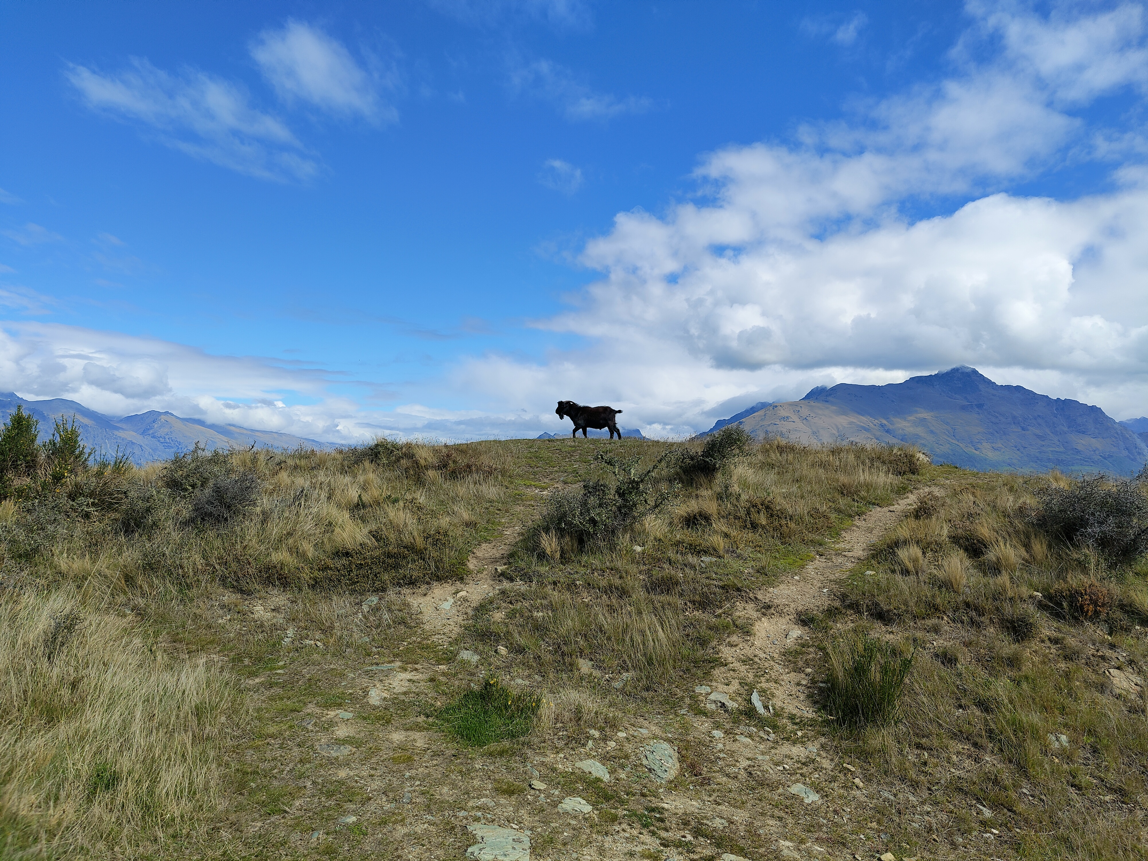 A goat casually walking across the skyline on top of Queenstown Hill