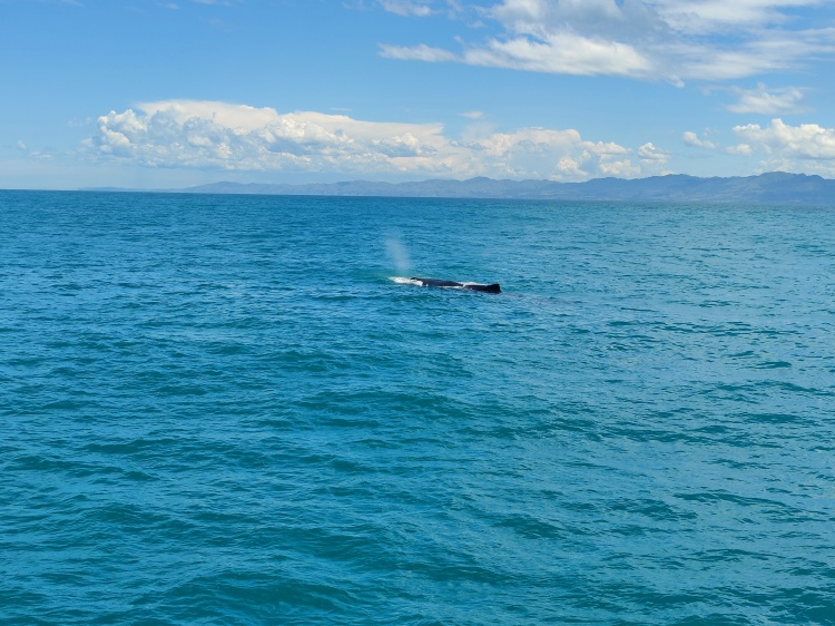 A sperm whale on the surface for a breather