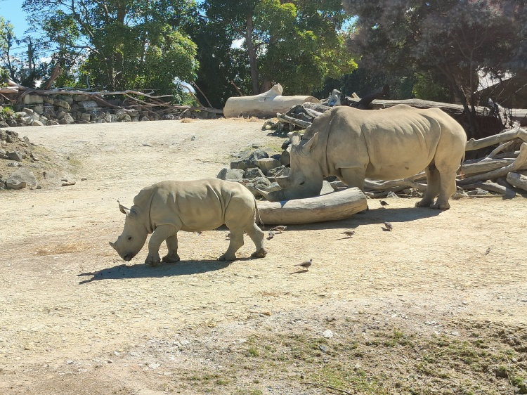 A rhino and it's young