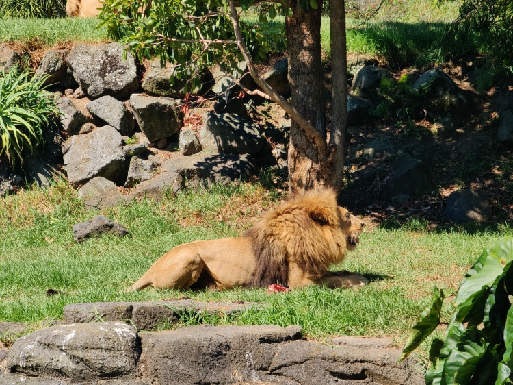 One of the lions eating it's afternoon meal