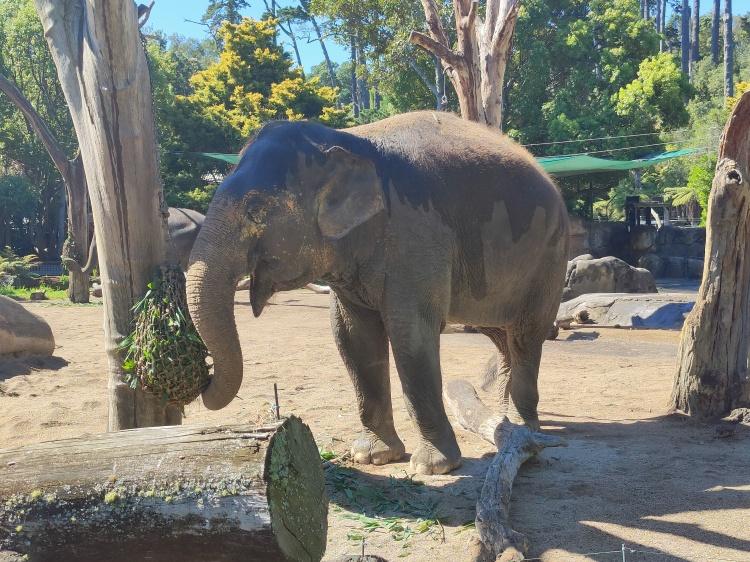 An elephant emerges into the sun after a bath